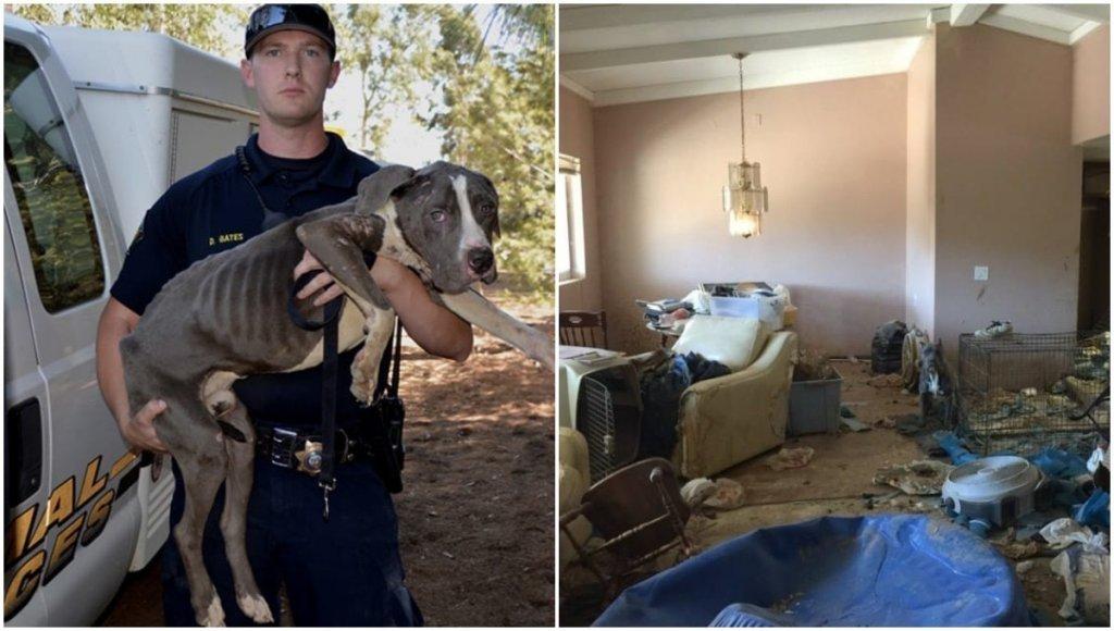 Resgatados os Pit bulls abandonados que estavam em péssimas condições