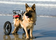 Cães em cadeiras de rodas
