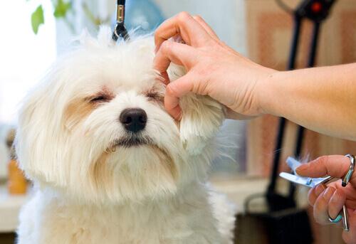 Seu cão tem o pelo emaranhado? Conheça a técnica Stripping!