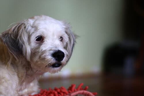 Sabia que seu cão pode ser intolerante ao glúten?