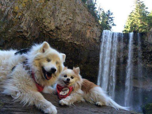 O cão cego que tem um cão-guia