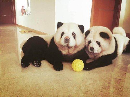 chow-chow-panda-2