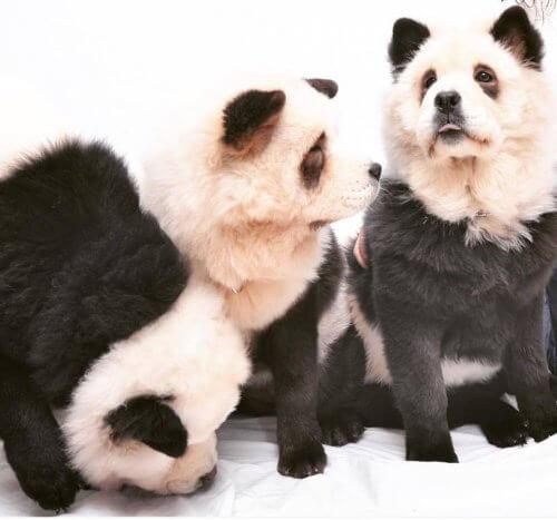 Chow chow panda. É um cão ou é um panda?