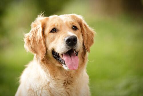 O que seu cão diz com as expressões de seu rosto?
