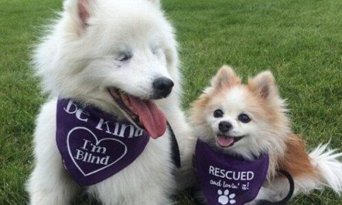Uma preciosa amizade entre Hoshi, um cão cego e seu cão-guia Zen