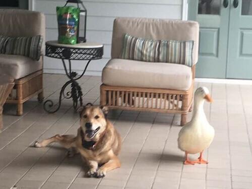 Pato acaba com a depressão de um cachorro com sua amizade