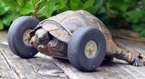 Conheça a tartaruga que tem uma prótese com rodas