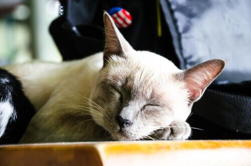 8 vantagens de adotar um gato idoso