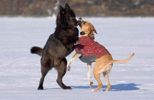 amizade entre um lobo e um cão