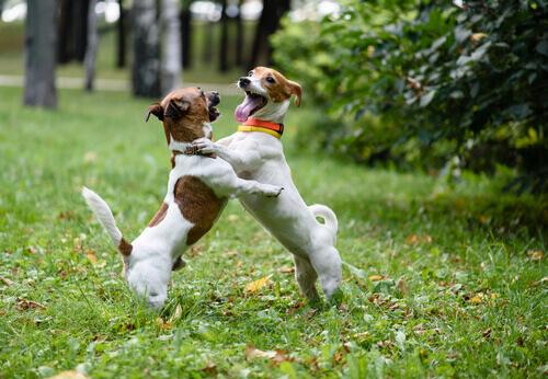 Como deter corretamente uma briga de cachorros