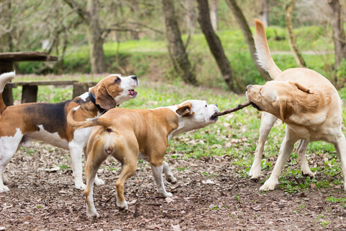 Veterinários britânicos advertem sobre o uso de paus nas brincadeiras com cães