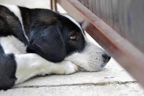 Os cães podem ter ataques de pânico?