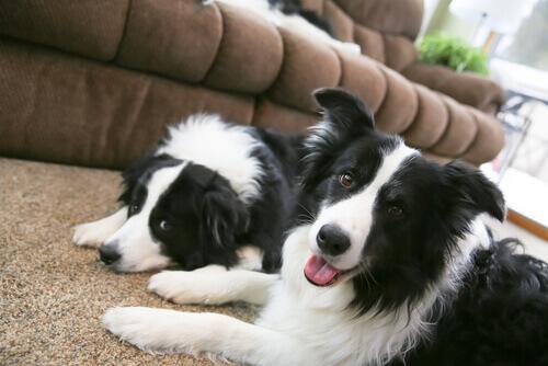 Como cuidar de um cão de raça de grande porte