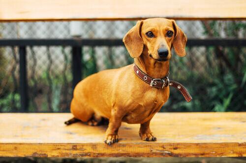 Dachshund de pelo curto é um cão curioso e muito divertido