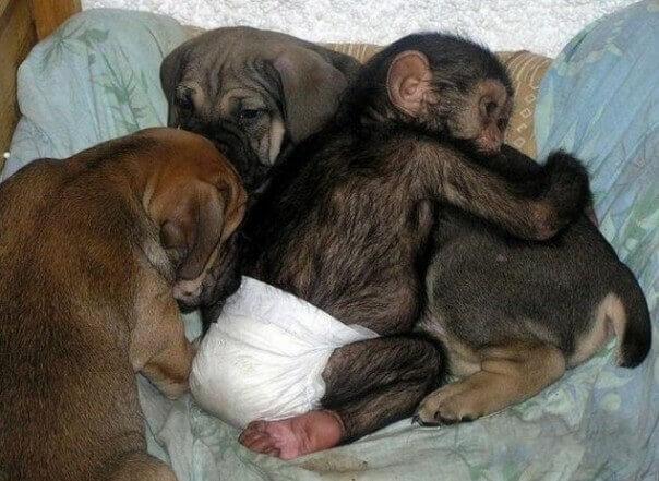 cadela-cuida-de-chimpanzes-orfaos-2