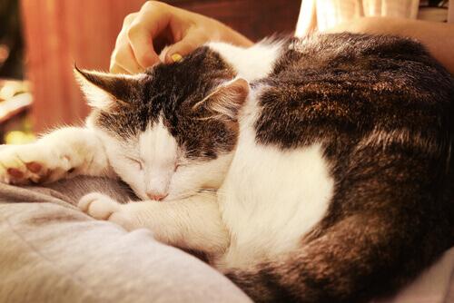 caricia-gato