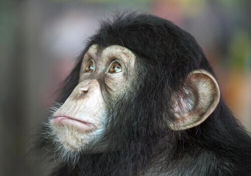 Quem é mais inteligente, o cão ou o chimpanzé?