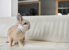 ter um coelho