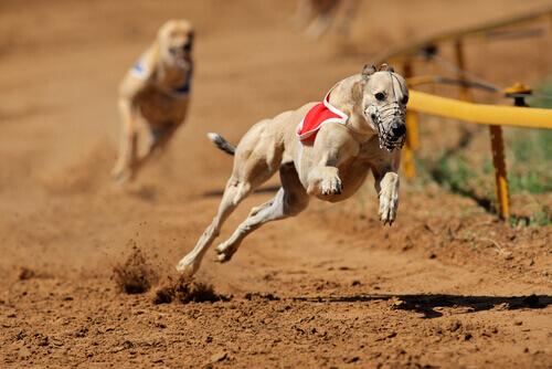 corridas de cães