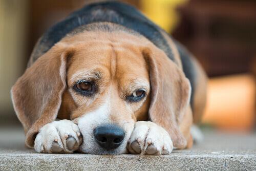 Conheça os riscos da diabetes em cães