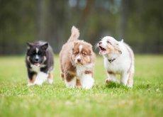 cão latidor
