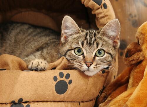 Como ensinar o seu gato a dormir na cama dele