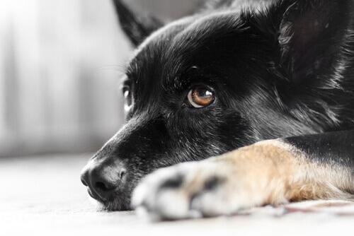 Sabe o que é o nistagmo em cães? Revelaremos isso!