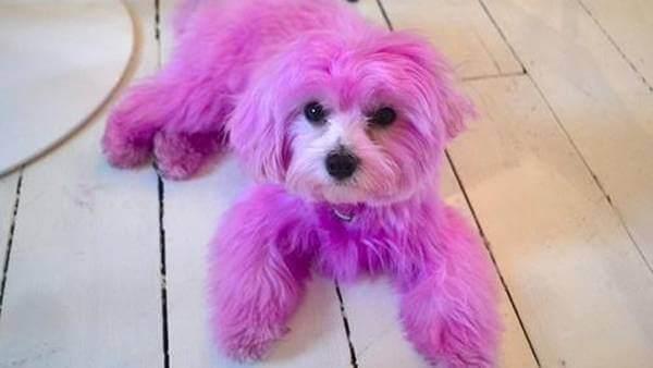 Policiais procuram os responsáveis por pintar um cão de rosa