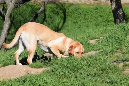 Saiba como ensinar o seu cão a rastrear