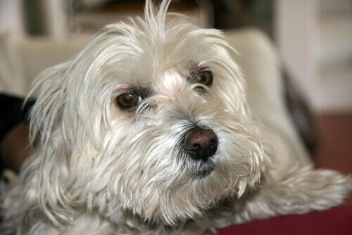 Como aliviar a tosse em cães