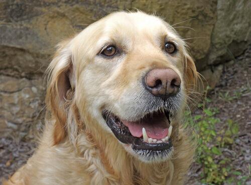 Bigodes, uma ferramenta imprescindível dos cães