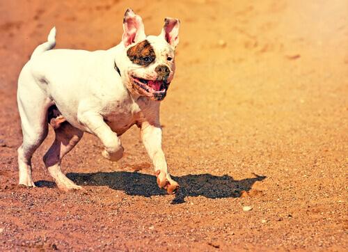 bulldog-americano-correndo
