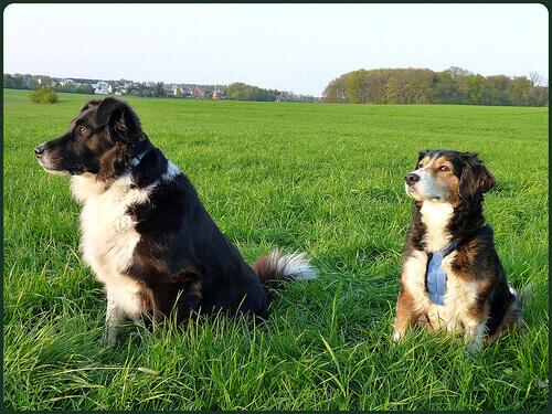 perros-el campo