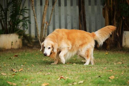 Como saber se o seu cão sofre de artrite