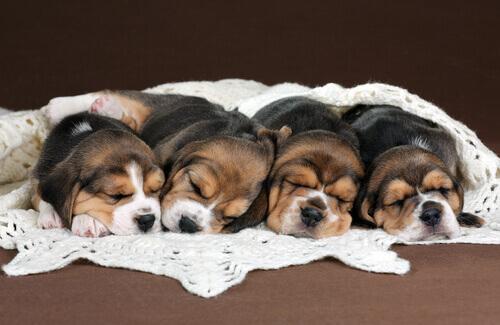 O tamanhoé um fator que determina quantos filhotes a cadela pode dar à luz