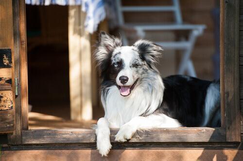 Por que os cães veem portas invisíveis