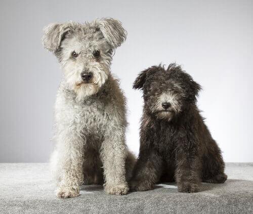 nova raça de cães