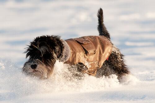 Por que os cães gostam tanto da neve?