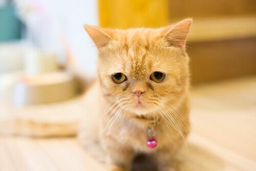 Conheça os gatinhos Munchkin, que são filhotes para sempre