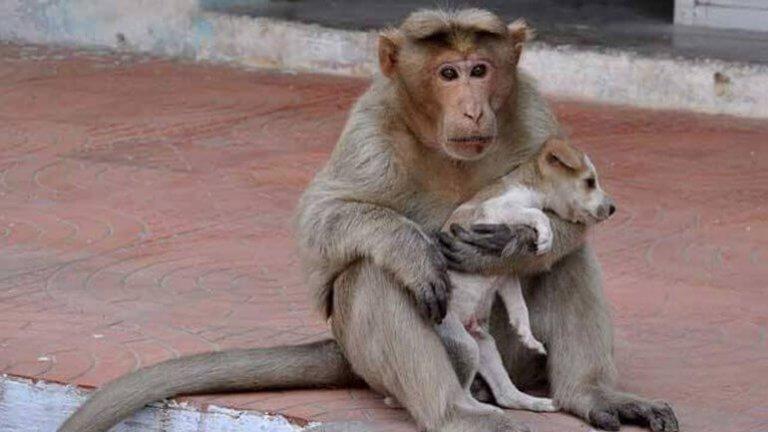 Macaca que adotou um filhote de cão na África