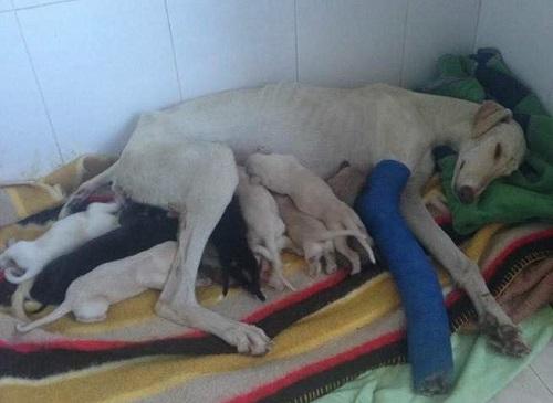 Uma cadelinha percorre 3 km para salvar seus filhotes mesmo com uma pata quebrada