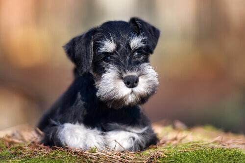 Os cães Schnauzer, nossos melhores amigos