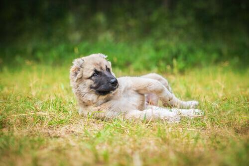 Por que os cães adoram chafurdar em lugares sujos