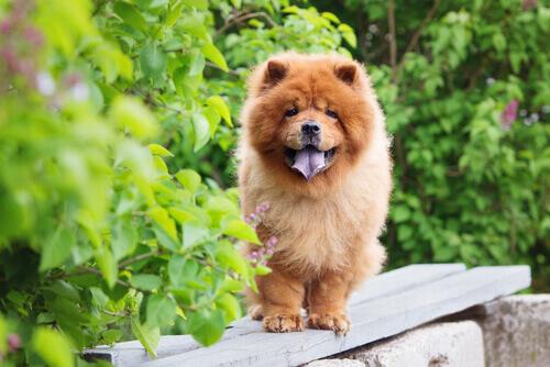 Chow Chow, um cão encantador e charmoso