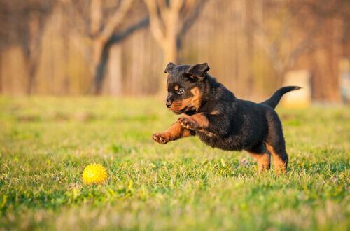 Rottweiler: descubra a personalidade desse cão