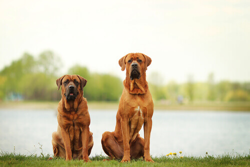 Os 8 maiores cães do mundo