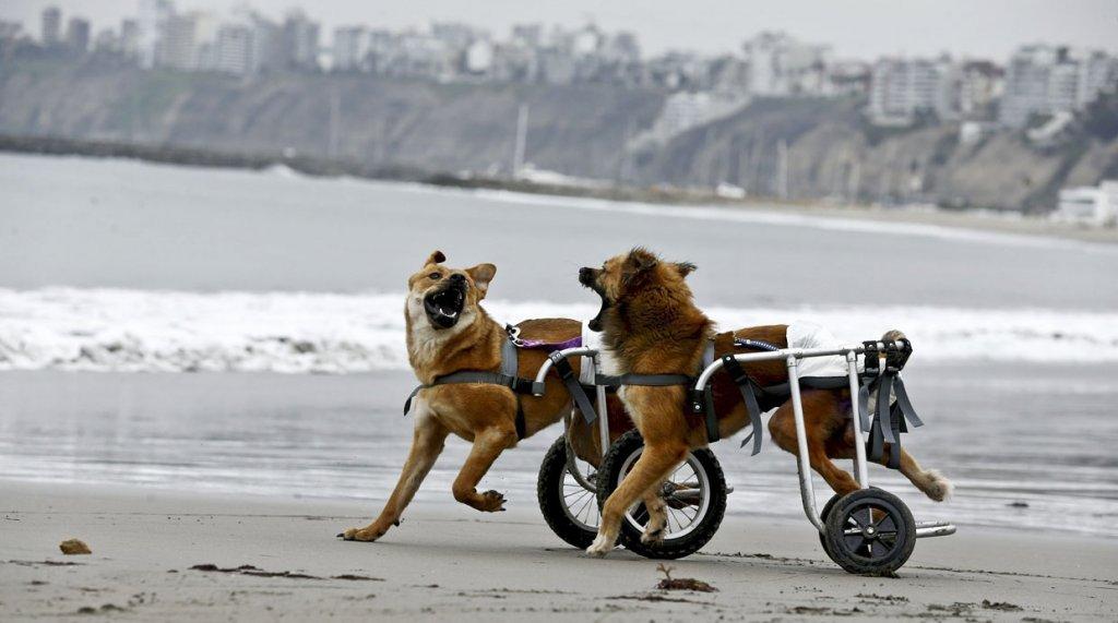 Peru abre um abrigo para cães com deficiência