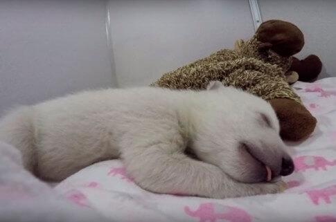 O urso polar mais fofo das redes sociais