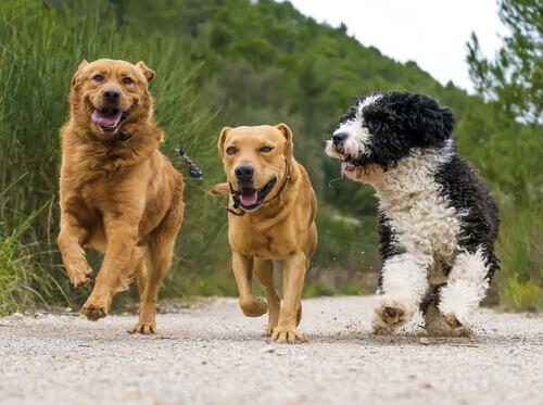 Como lidar com o cio de uma cachorrinha em casa