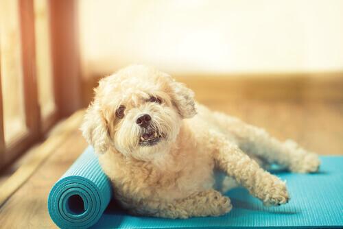 Cachorro fazendo ioga